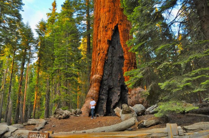 photo credit: Grizzly Giant, Mariposa Grove Winter Trails, Yosemite National Park via photopin (license)