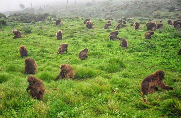 photo credit: Gelada Baboons, Ethiopia via photopin (license)