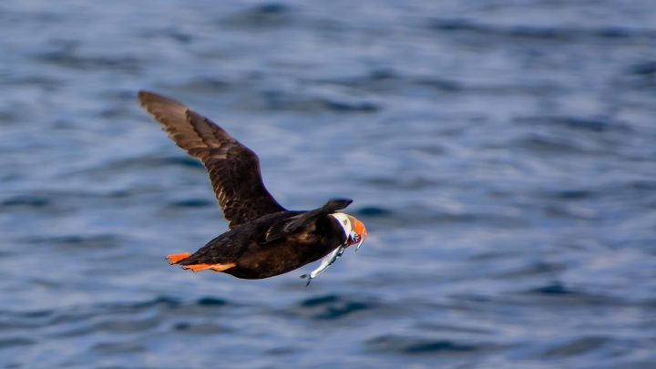 photo credit: Tufted Puffin via photopin (license)