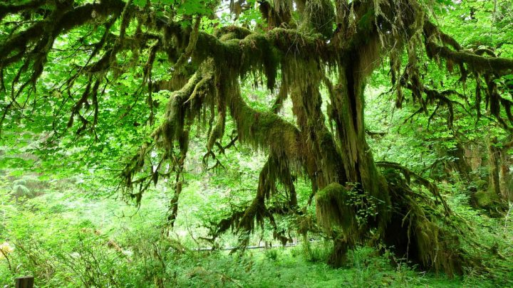 photo credit: Olympic National Park - Hall of Mosses via photopin (license)