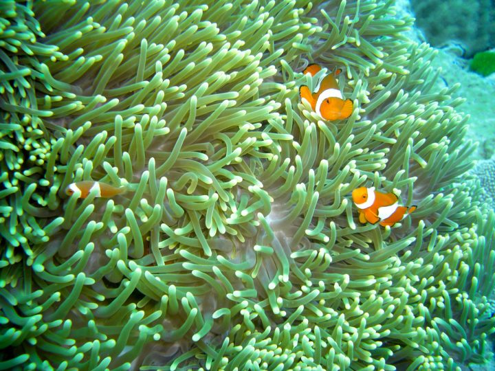 photo credit: Clown fish anemone via photopin (license)