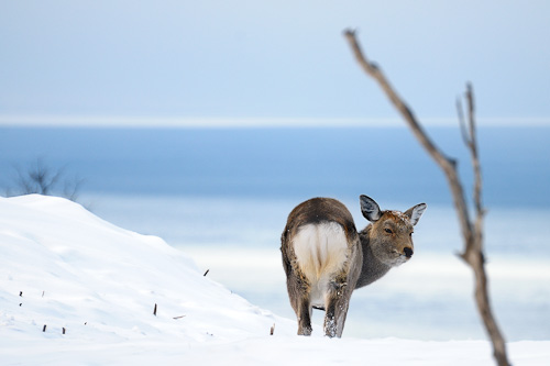photo credit: Ezo deer (female) via photopin (license)